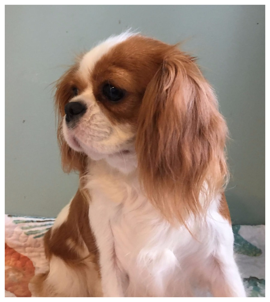 Cavaliers by val cavalier adoption in cape coral florida 33990 top 5 reasons to own a cavalier king charles spaniel nvjuhfo Image collections