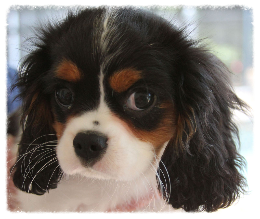 Cavaliers By Val - Cavalier Adoption In Cape Coral, Florida